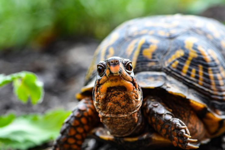 tortuga animal espiritual totem
