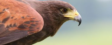 halcon animal totem