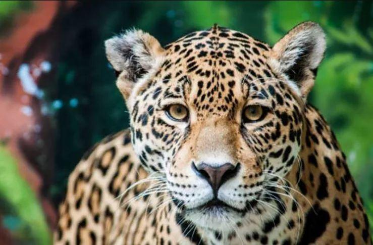 jaguar animal tótem