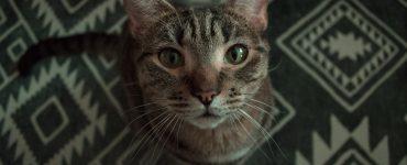 animal tótem gato
