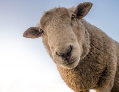 animal tótem oveja