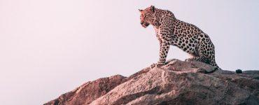 animal tótem leopardo