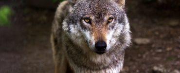 animal tótem lobo