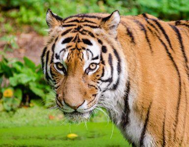 tigre animal tótem
